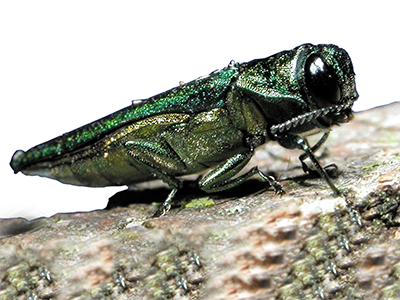 News flash - emerald ash